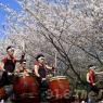 sakurasunday20130032