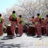 sakurasunday20130046