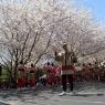 sakurasunday20130124