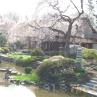 sakurasunday20130232