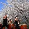 sakurasunday20130029