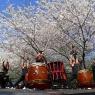 sakurasunday20130069