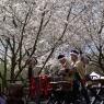 sakurasunday20130085
