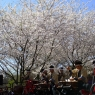 sakurasunday20130092