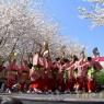 sakurasunday20130114
