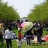 sakurasunday2012097